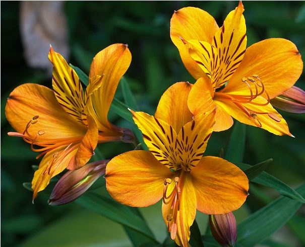 Alstroemerias, endemic to Chile. This are the flowers as you find it growing wild.