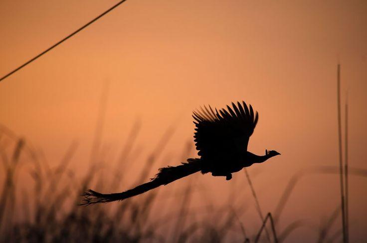 El pavo real es una de las aves más bellas y majestuosas. ¿Estas listo?