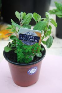 Many herbs grow quite well indoors. Sweet marjoram is one such herb. For tips on growing and caring for an indoor marjoram herb plant,…