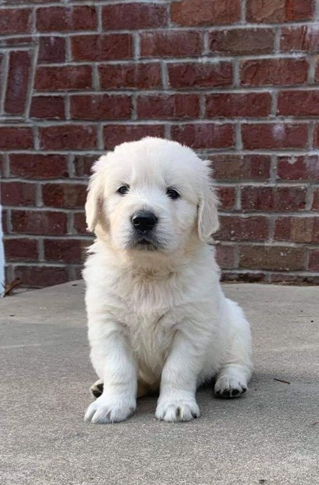 Goldenretriever Caleb Akc Male English Cream Golden Retriever