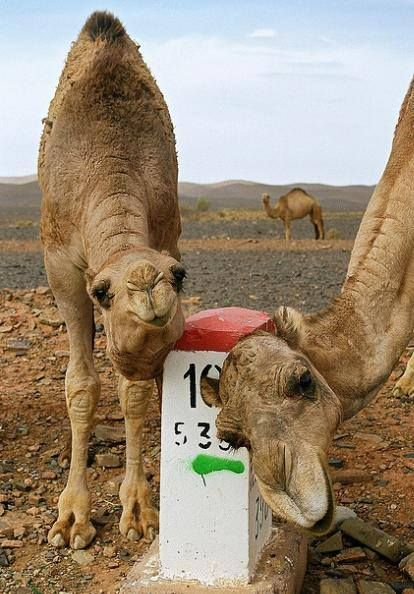 Camels in the Sahara. hehe :)