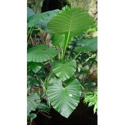 Planta de Marquesa, Oreja de Elefante (Alocasia Macrorrhizos)