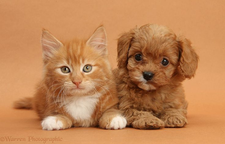 Cute cat and puppy dog together awesomepuppy power