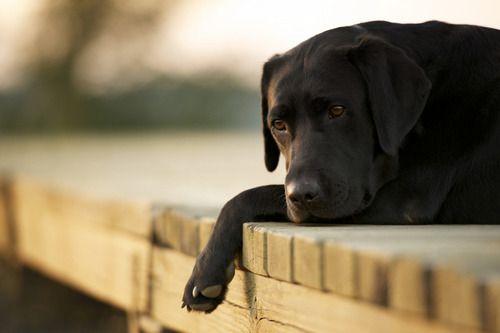 contemplatingLabrador Retriever, Puppies, Best Friends, Dogs Photos, Chocolates Labs, Pets Photography, Black Labs, Black Labrador, Animal