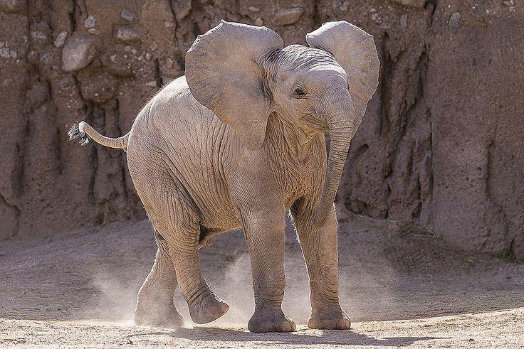 Elephants Animal Animals Calf: African Elephant Calf, Nandi