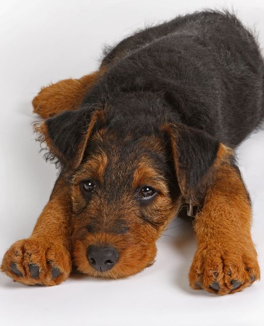 1000+ images about Airedale Terrier Dogs/Mixes on ...
