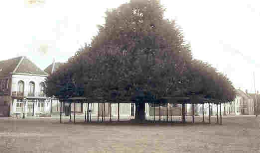 De lindeboom op de Heuvel in volle glorie