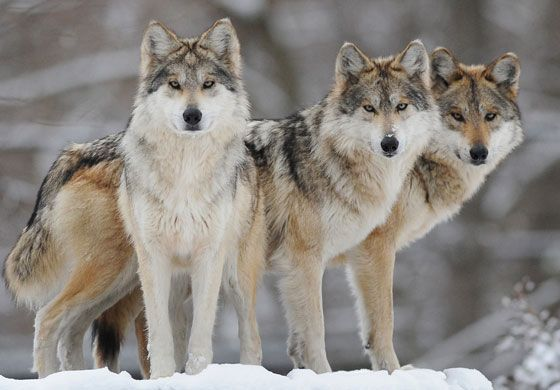 Mexican Gray Wolf                                                                                                                                                                                 More