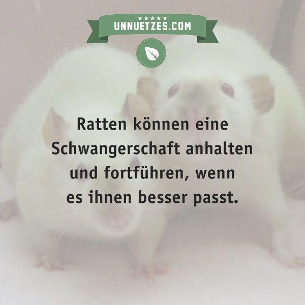 Mehr Infos: http://www.unnuetzes.com/wissen/15237/schwangerschaftspause-fuer-ratten/