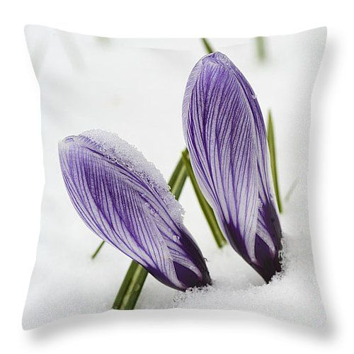 Throw pillow - Two purple crocuses in spring with snow, beautiful tough flowers... All throw pillows are available in multiple sizes. (c) Matthias Hauser hauserfoto.com #crocus