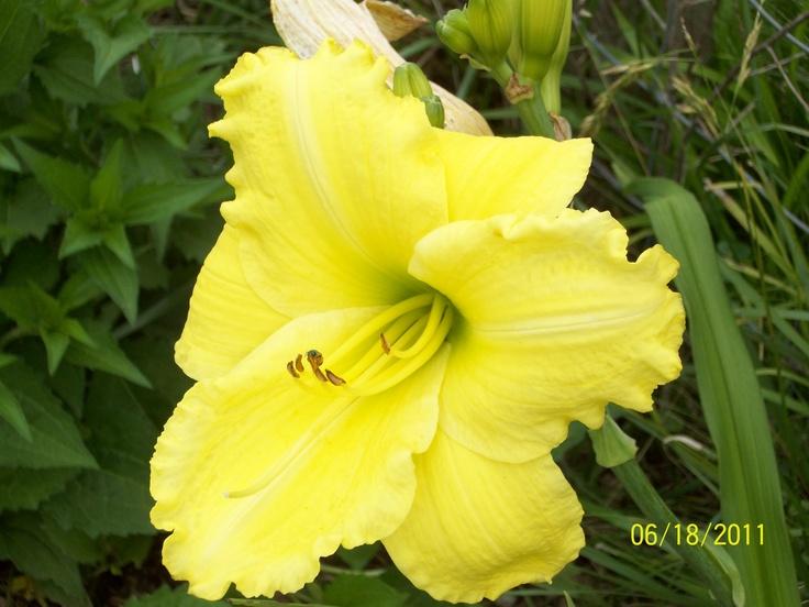 Lemon Daylily