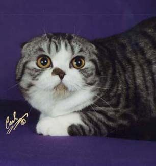 Scottish Fold Cat For Sale Las Vegas