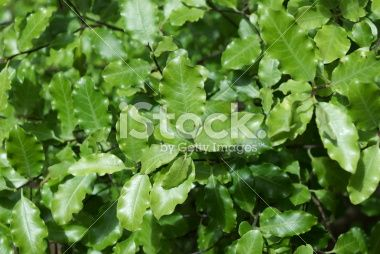 Pittosporum Tenuifolium (Kohuhu) Royalty Free Stock Photo