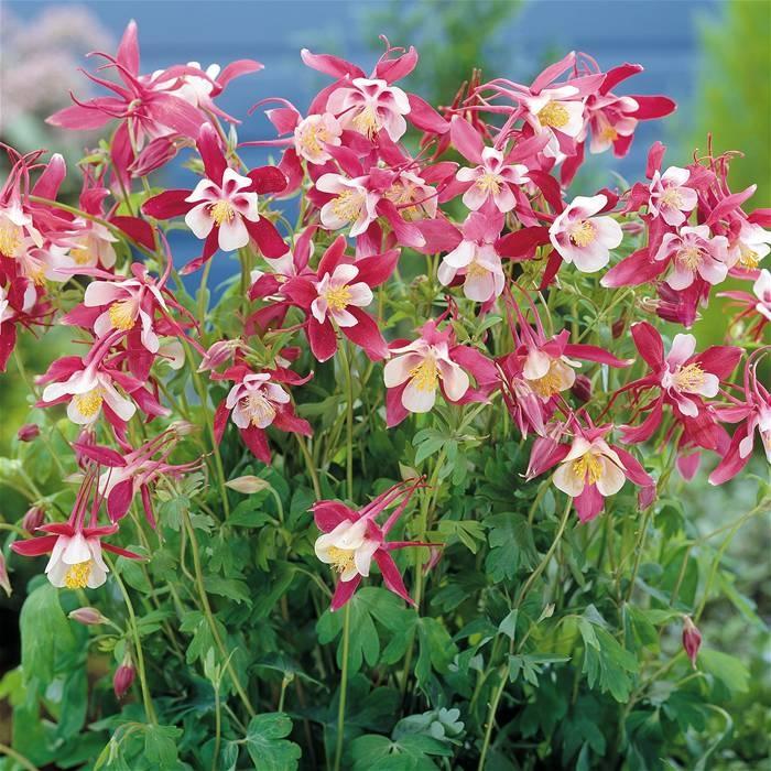 Aquilegia Caerulea Crimson Star Rabbit Resistant Plants