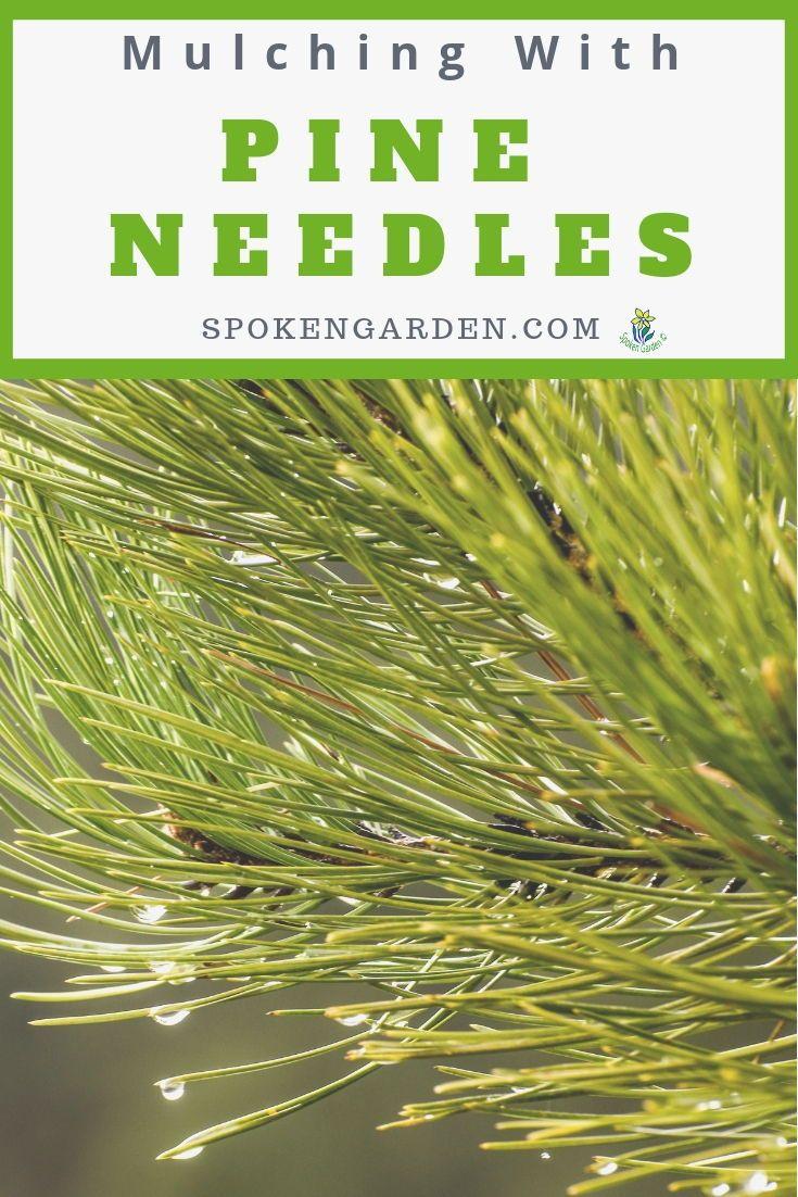 Pine Needle Mulch Benefits Exposed Diy Garden Minute Ep 62 Spring Garden Flowers Garden Mulch Mulch Landscaping Garden Maintenance