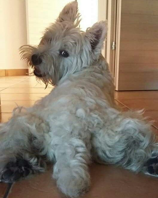 17 Best Images About Puppy Westies On Pinterest Baby
