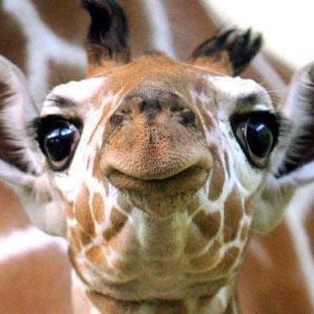 Mich faszinieren diese grossen dunklen Augen, die einen so sanft anblicken u. man dabei vergisst, daß diese Tiere auch gefährlich werden können.