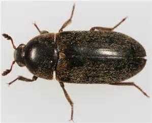 dermestid beetles