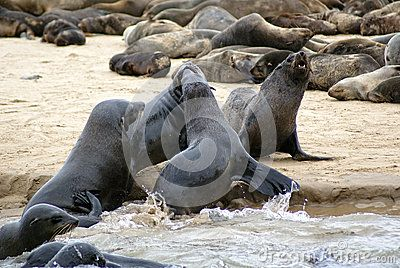 Seal Colony Walvisbay - Download From Over 31 Million High Quality Stock Photos, Images, Vectors. Sign up for FREE today. Image: 52354568