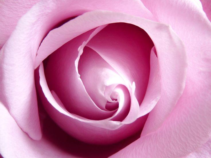Rose - photo by Ellerin Eadwine
