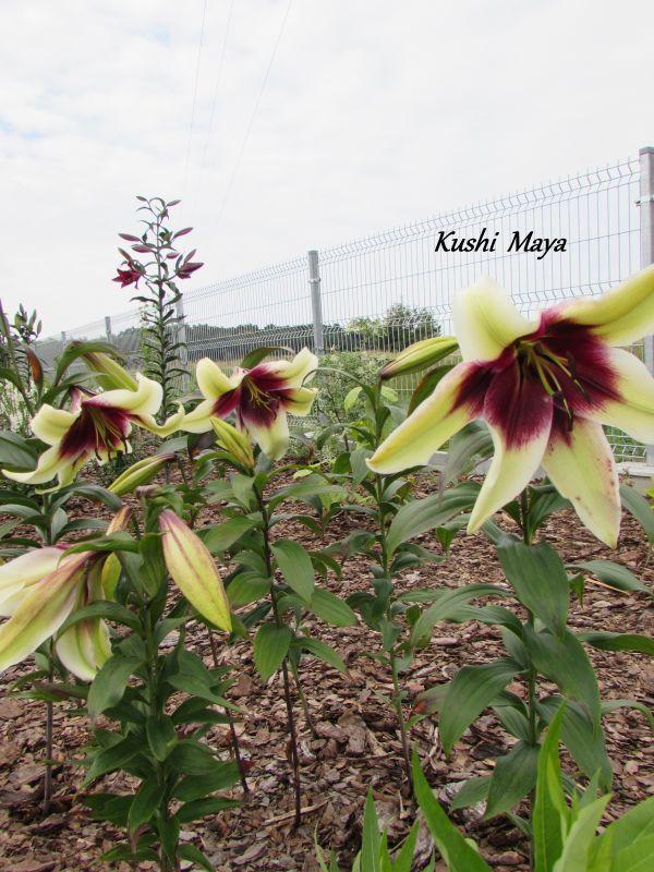 Zielono Zakręceni: Lilia (Lilium) Kushi Maya (1/1)