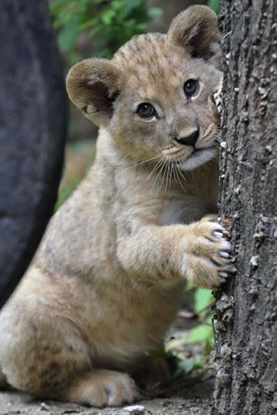 No matter how cute he is, we bet this lion cub could throw one major tantrum with those claws.