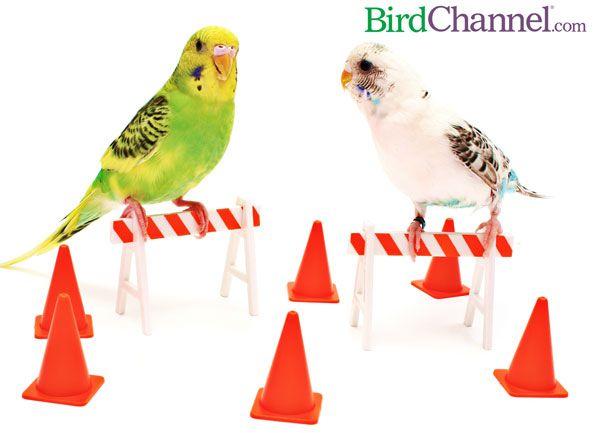 Top 10 Pet Budgie/Parakeet Vet Questions & Answers