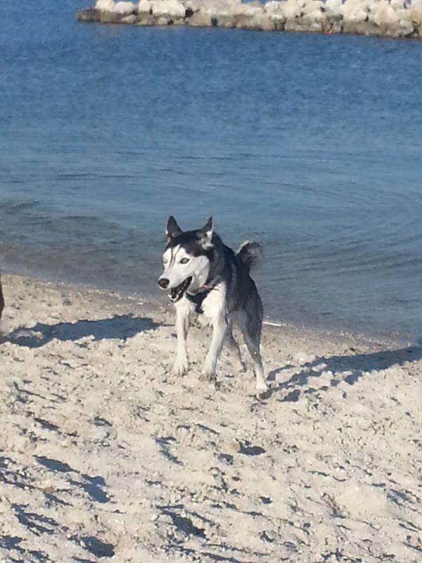 Siberian Husky beach fun