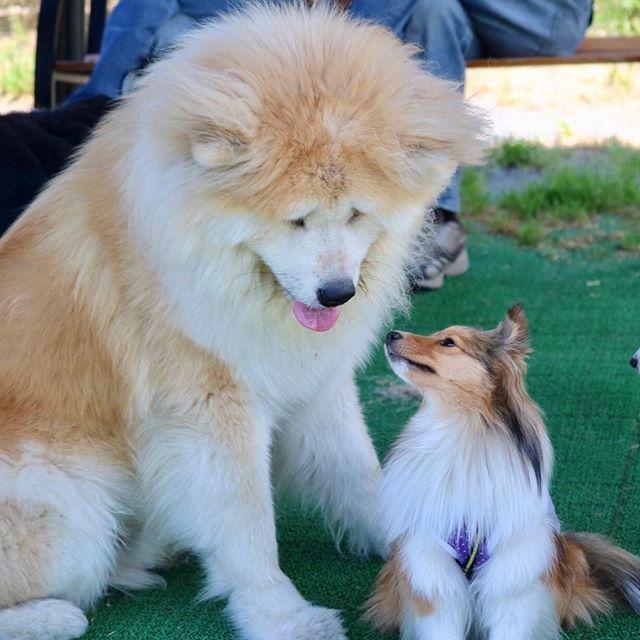 #名犬牧場 ここのランは シェルティは、大型犬 中型犬一緒のランになります。  #優しいおっきなお友達 #わさお似 ?  身体の大きなお友達ともみんな仲良くすごせました。  可愛かったなぁ。  #しーくーはーちゃん #キャノン #eoskissx8i #写真好きな人と繋がりたい ##愛犬 #愛犬との暮らし #わんこ #いぬ #いぬのいる暮らし #シェルティ多頭飼い #シェルティ #シェルティ大好き #シェットランドシープドッグ #sheltie #ファインダー越しの私の世界#dog #shetlandsheepdog #shelties #sheltiegram #sheltielove #sheltiepower#dog #all_dog_japan #east_dog_japan