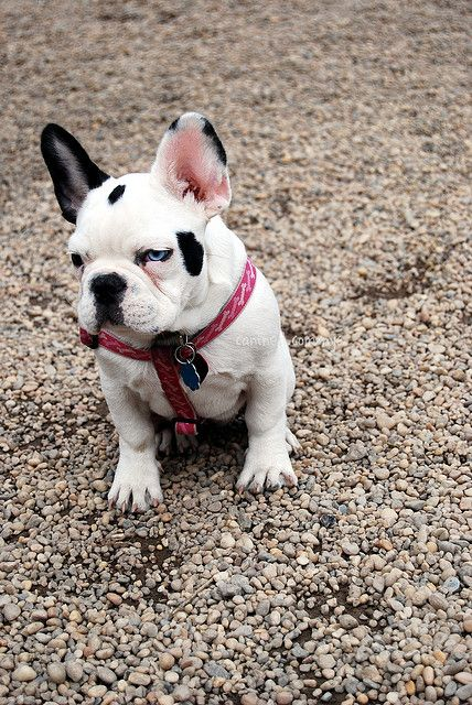 Black and White French Bulldog with one Blue Eye.