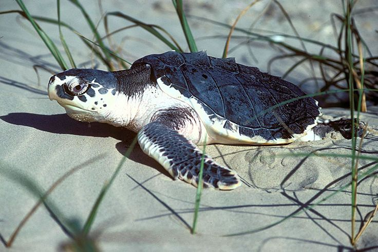 Six years after the Deepwater Horizon disaster, Kemp's ridley sea turtle nesting has fallen to its worst level in years.