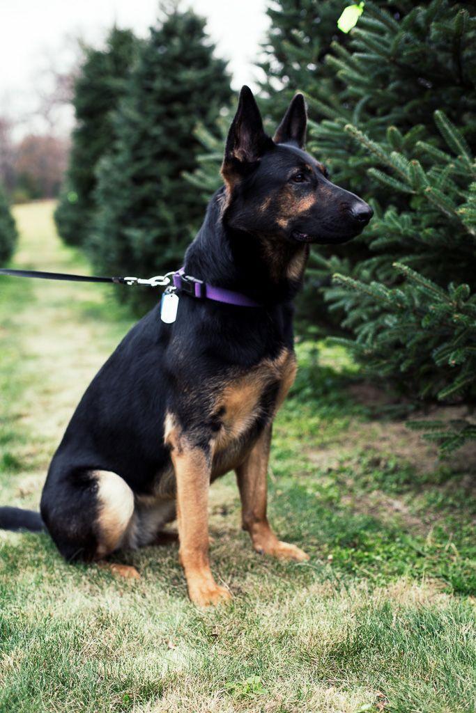 Gsd Love Black And Tan German Shepherd German Shepherd Dogs Shepherd Dog Dogs