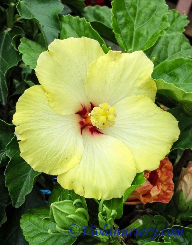 Hibiscus - Ingenue Yellow