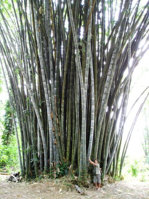 beautiful You Have Ever Seen Bamboos, But Not Giant Bamboos (Dendrocalamus Giganteus) #Bamboo #Travel #Vegetable Dendrocalamus Giganteus is the latin name for one of the biggest species of giant bamboo, also known as Dragon Bamboo. It's a very tall, large ...