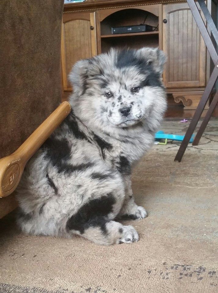 From Fb Australian Shepard And Chow Chow Mix Cute Dogs Baby