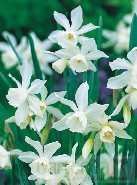 Narcissus Thalia - White daffodil to come up March/April