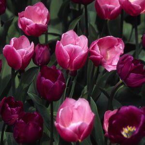 Tulipa - Negrita - Tulip Bulbs for sale