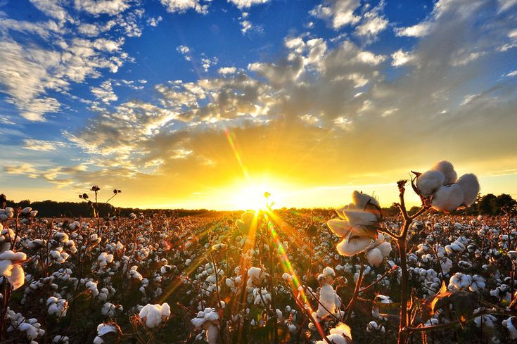 A typical sunrise over the cotton fields of Gujarat India