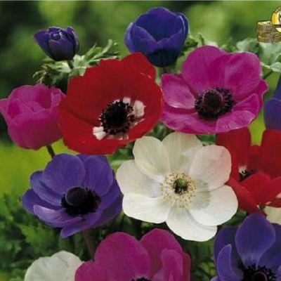 Anemona De Caen. Planteaza 1 bulb in martie - aprilie si vei avea  anemone in aprilie - septembrie.