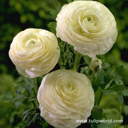 37 best flowers white cream images on pinterest white flowers ranunculus bulbs are normally planted fall and most white ranunculus will begin to flower sometime mightylinksfo