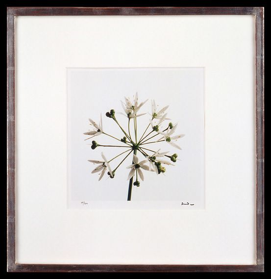 Lord Snowdon | Wild Garlic Flower | Limited Edition Photograph, part of a set of 8 | 10 x 8 inches | £1,450 (for the set, unframed)  These photographs come as a portfolio; there are eight photographs in the set. Each image has been signed by Lord Snowdon.