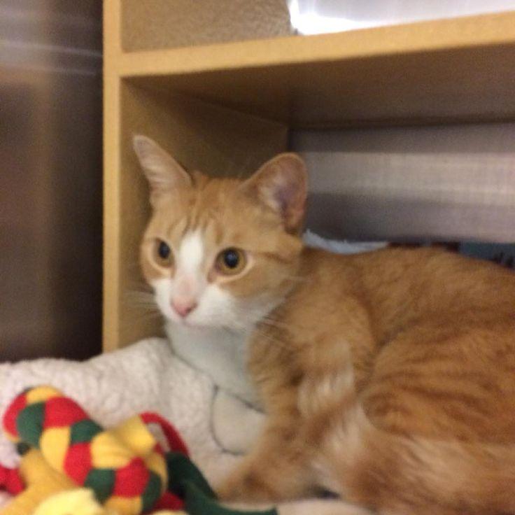 Gilbert, a small orange tabby who loves exploring