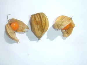 Physalis peruviana una bella pianta perenne che produce un frutto dalle interessanti proprietà  scoprile: http://www.miglioriamoci.net/physalis-peruviana-alchechengi-solanaceae/