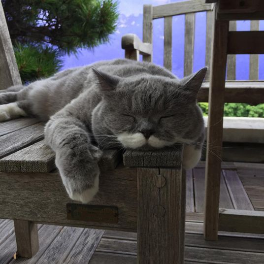 The very cute sleepy cat. Citronnelle (aka Lemongrass) a British Shorthair lady cat with a moustache, who lives in France and has over 32k followers on Instagram