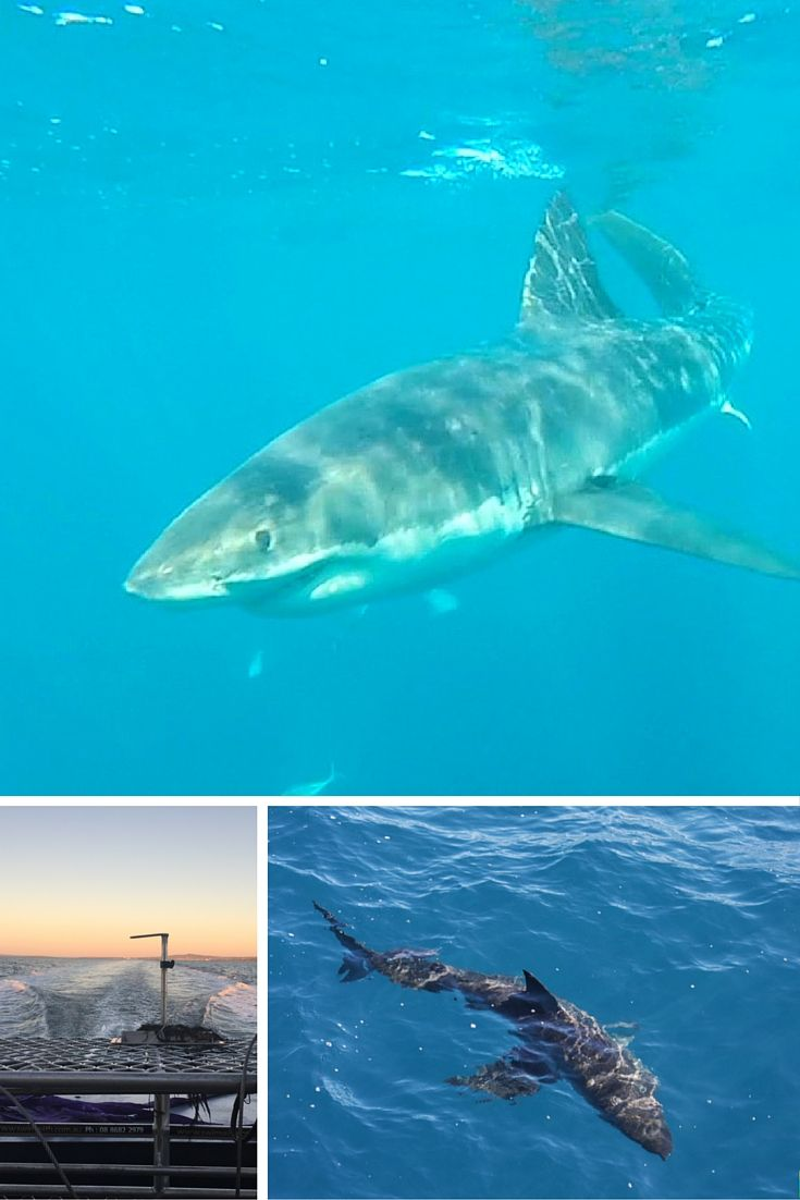 Käfig tauchen mit dem Weißen Hai in Südaustralien (Port Lincoln). Erfahrungen und Tipps: http://www.cityseacountry.com/de/kaefig-tauchen-weisser-hai-australien-port-lincoln/