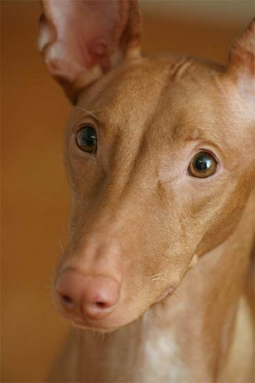 I'm partial to greyhounds which makes me love all sighthounds which makes me smile over this Pharaoh Hound.  Love the pink nose especially.