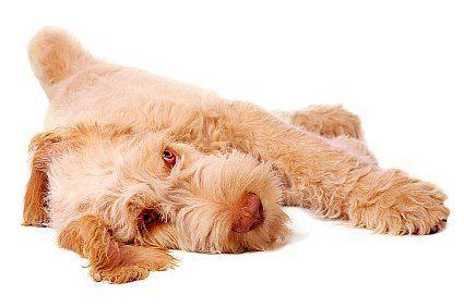 Spinone Italiano puppy
