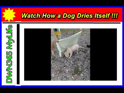 DWN365 MyLife 'Watch How A dog Dries Itself'