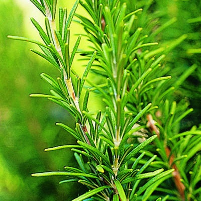 Growing Rosemary (Rosmarinus)