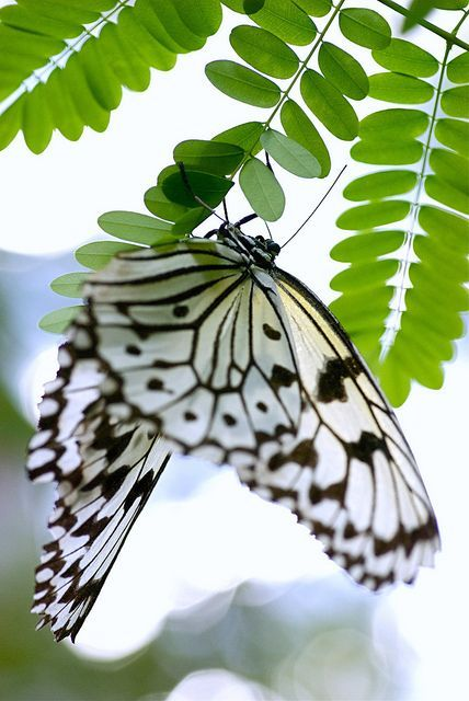 loveliegreenie❤️ Beautiful black and white butterfly. #butterfly